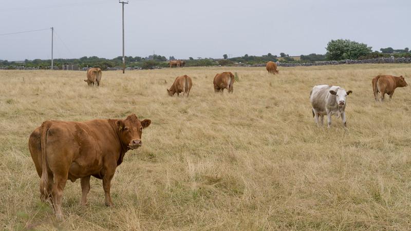 Cattle grazing in field, Headford, County Galway, Ireland