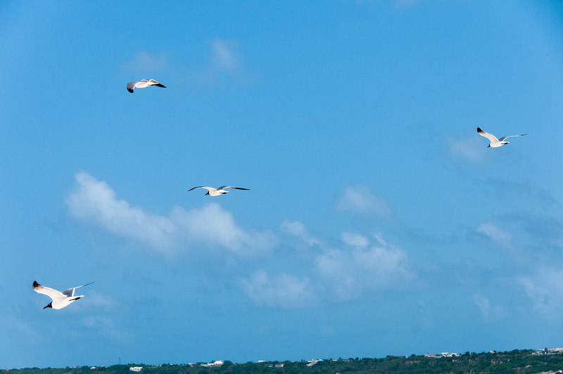 Birds on flight in the island of Anguilla