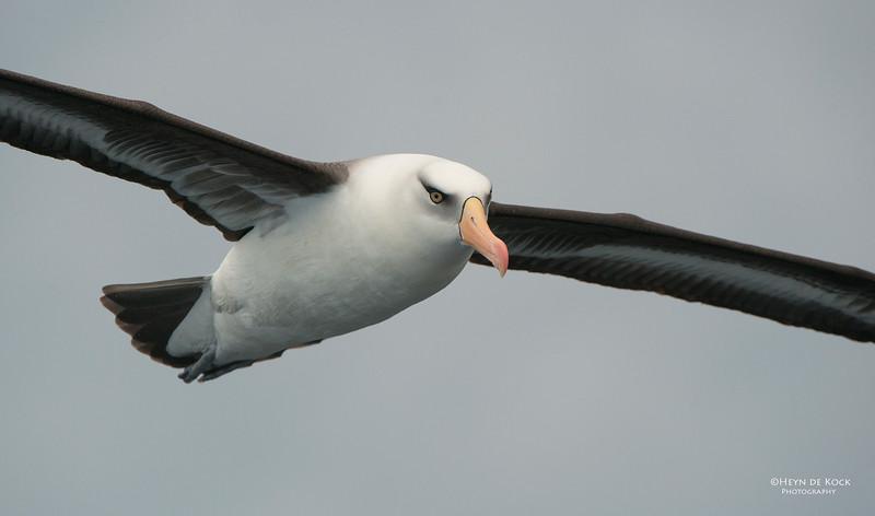 Campbell Albatross, Wollongong Pelagic, Nov 2013.jpg