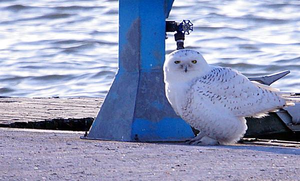 Snowy Owl   Dec. 2014