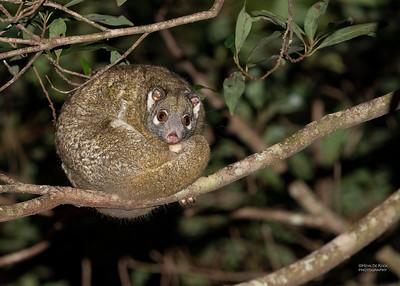 Green Ring-tailed Possum (Pseudochirops archeri)