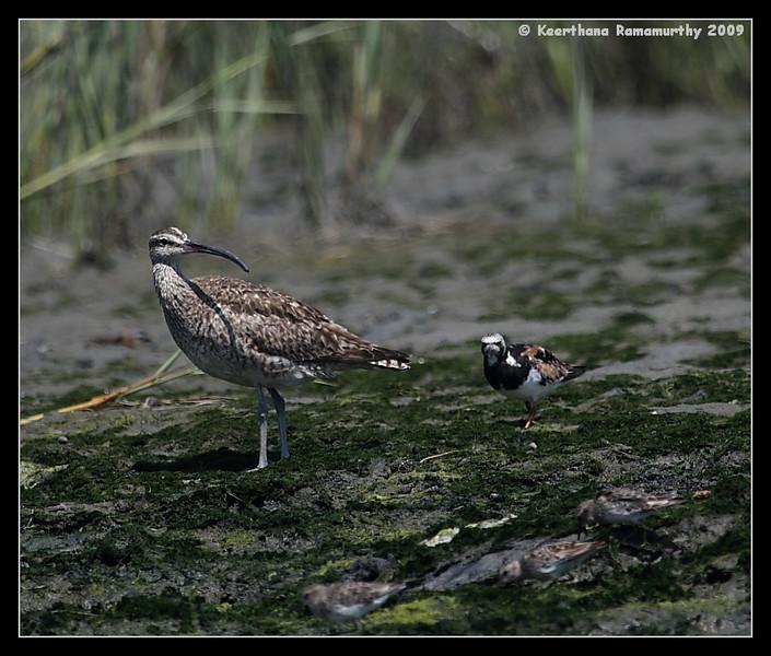 Whimbrel & Ruddy Turnstone in breeding plumage, Robb Field, San Diego River, San Diego County, California, August 2009