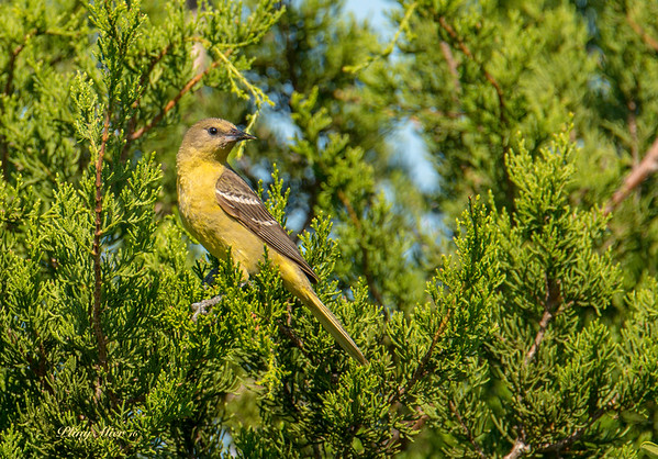Orchard Oriole 3_DWL8745.jpg
