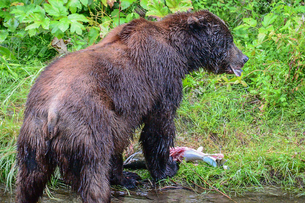 8-05-14 Grizzly Bear Called Dog Bear