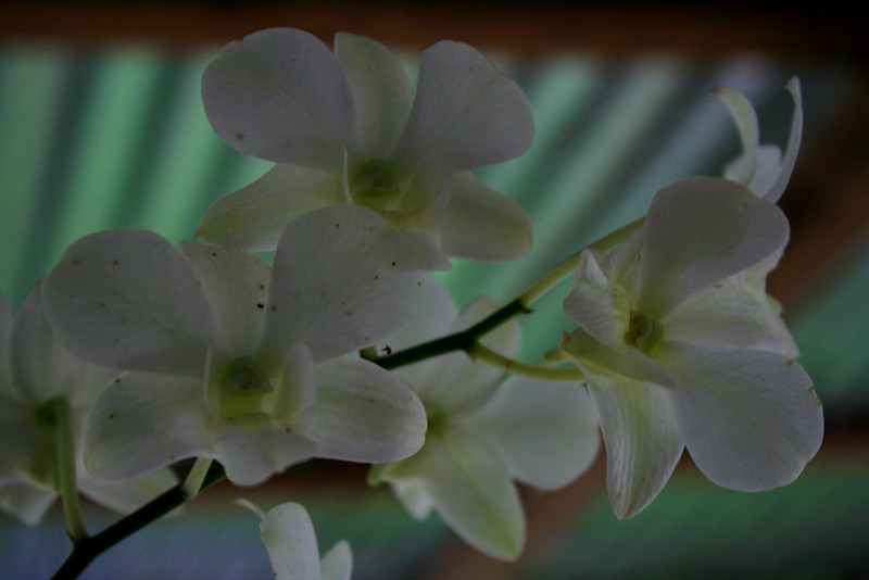 A few of Yie's orchids