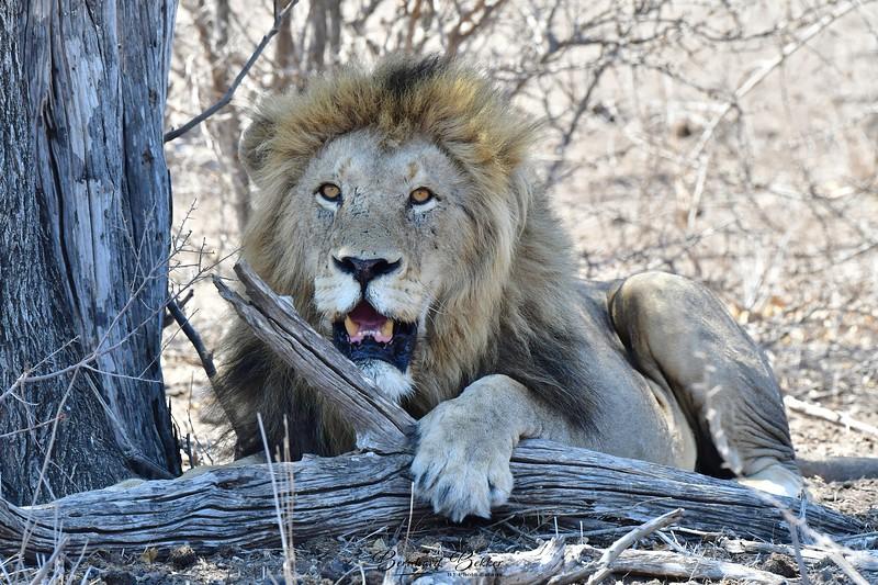 Lange Male Lion Up Close