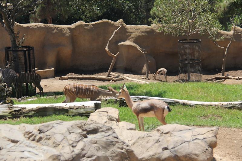 20170807-108 - San Diego Zoo - Antelope.JPG
