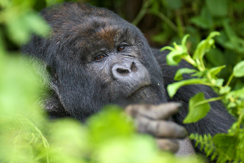 Gorillas  8427.jpg