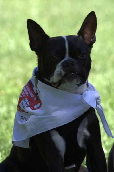 boston terrier oct 2010 022.jpg