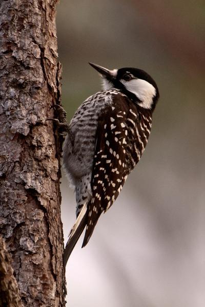 Woodpecker - Red-cockaded - Apalachicola National Forest - Sumatra, FL
