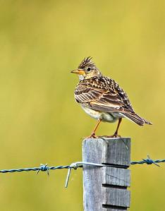 Songlarks, Bushlarks, Grassbirds, Pipits