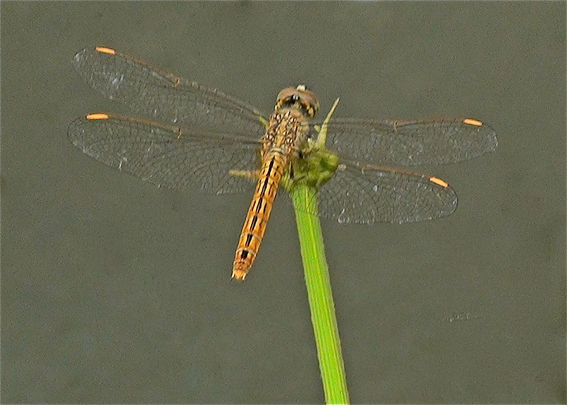 Brachythemis contaminata, Female, Siem Reap, Cambodia (not a great shot, but a record of the female)