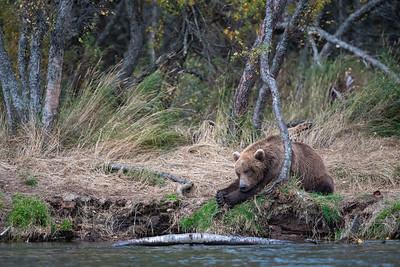 Bears of Katmai National Park
