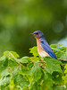 Eastern Bluebird Portrait