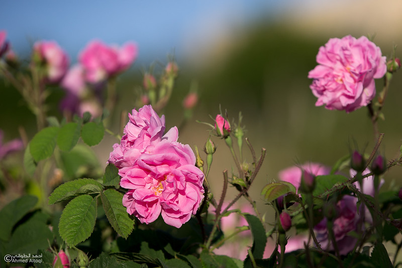 Roses Water (26)-Aljabal Alakhdhar-Oman.jpg