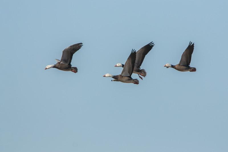 Snow Geese Dark Morph in Flight.jpg