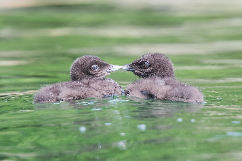 #619 Common Loon Chicks