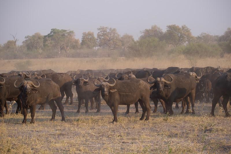 Cape Buffalo herd, Selinda Explorer camp, Botswana