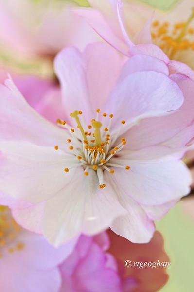 April 16_BranchBrookCherryBlossoms_8182.jpg
