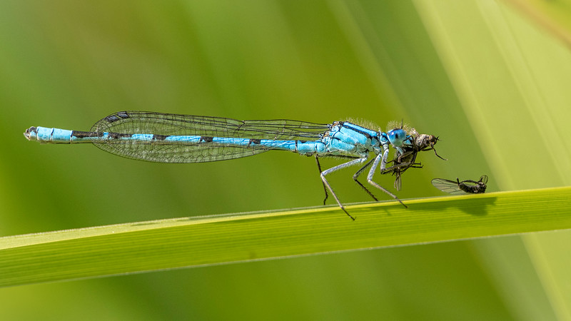Common blue with prey