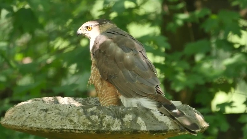 Coopers Hawk.mp4