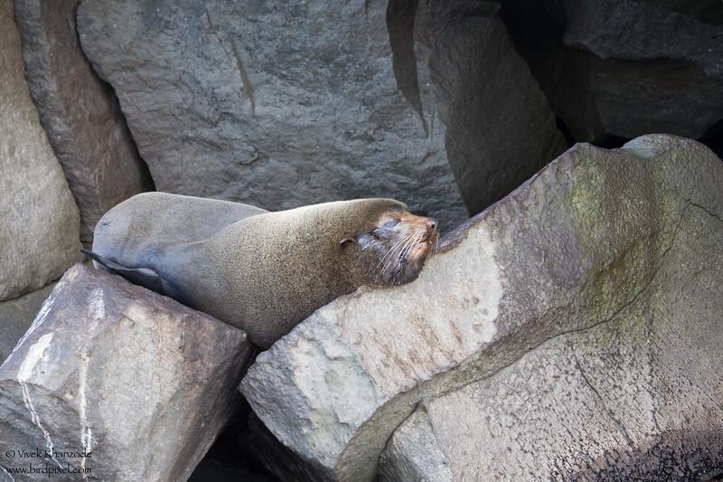 Galápagos fur seal - Darwin Bay, Isla Genovesa, Galapagos, Ecuador
