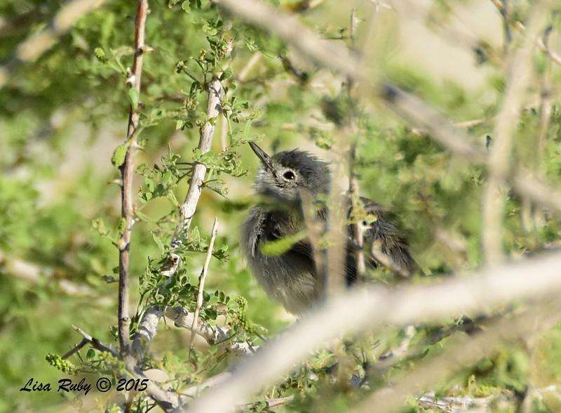Fledgling Black-tailed Gnatcatcher - 4/5/2015 - Moonlight Trail, Agua Caliente