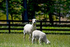 Baby sheep and mother standing in a grassy meadow. Photography fine art photo prints print photos photograph photographs image images artwork.