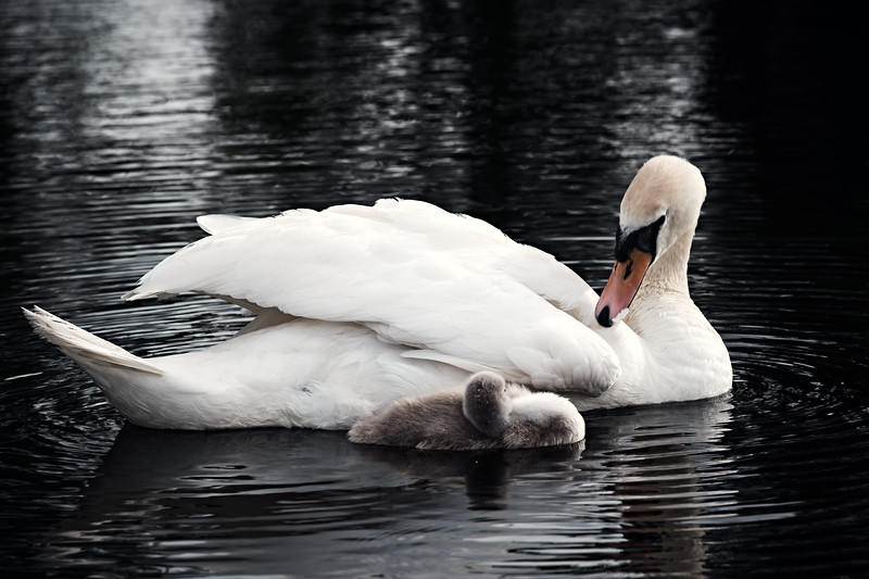 Swans_Of_Castletown031.jpg