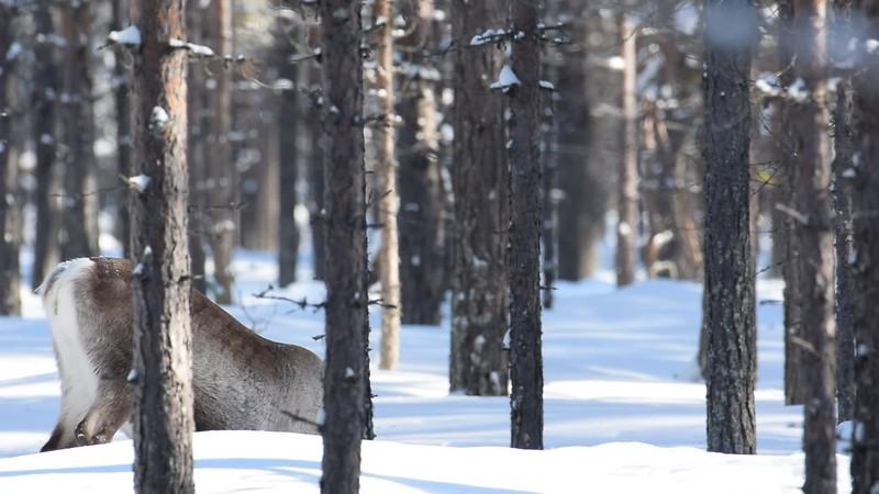 Hjortar - Deer