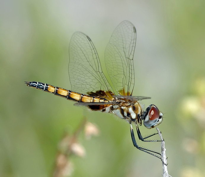 Macrodiplax balteata (Marl Pennant), FL - female