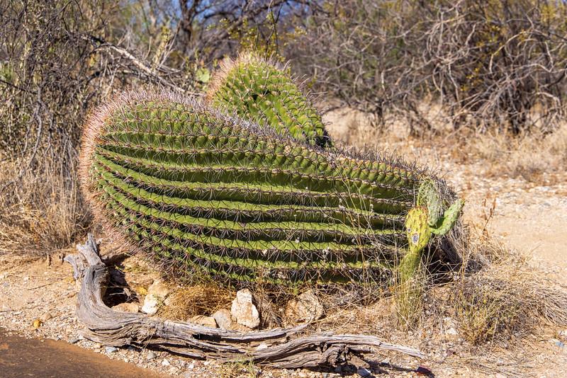 Barrell Cactus Cuddles