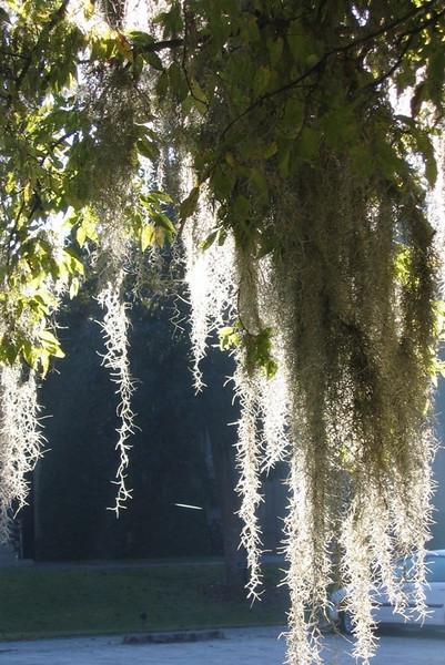 Spanish moss was everywhere