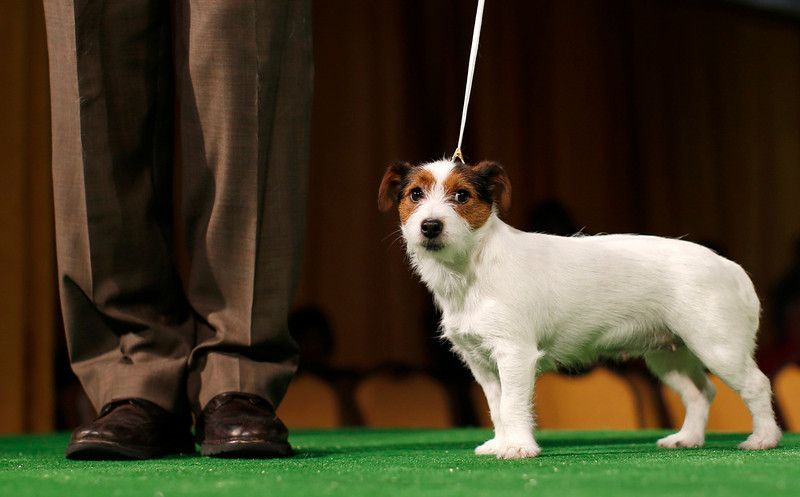 . Turbo, a Russell Terrier is introduced during a press conference ahead of the 137th Westminster Kennel Club Dog Show in New York, February 7, 2013. Russell Terriers will join Treeing Walker Coonhounds as the two new breeds in the 137th Westminster Kennel Club Dog Show which will feature some 2,721 dogs and will be held in New York City February 11 and 12, 2013.   REUTERS/Mike Segar