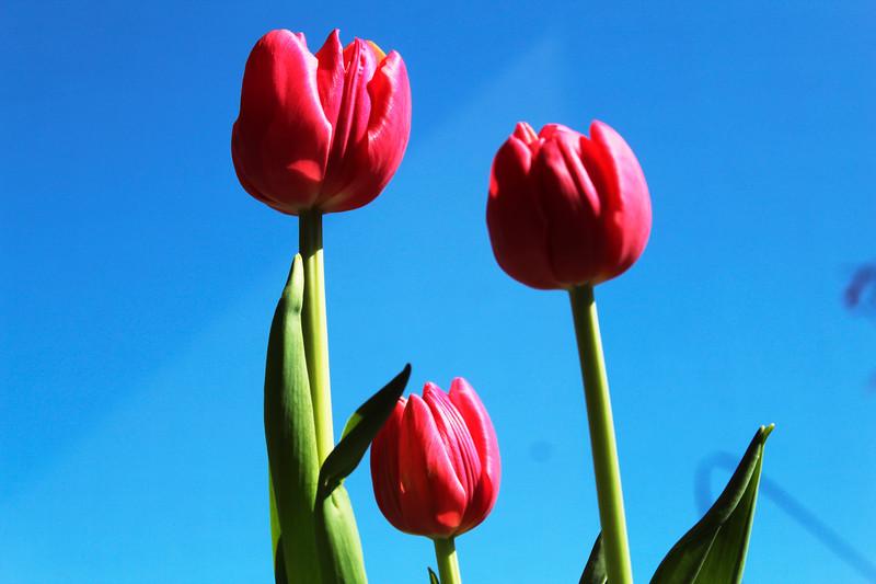 1_8_21 Spring Tulips.jpg