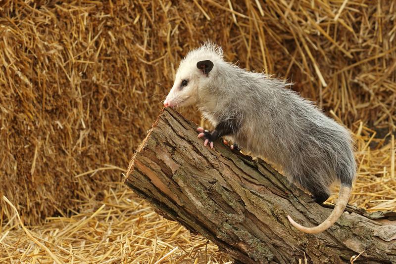 oppossum1213.aJPG.jpg