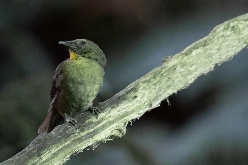 19-Sept Costa Rica Birds-0777.JPG