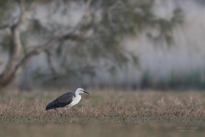 White-necked Heron, Nathan Rd Wetlands, Brisbane, QLD, Sept 2017-2.jpg