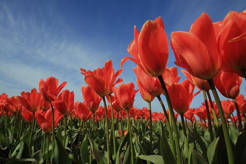 Tulips 08 025.JPG