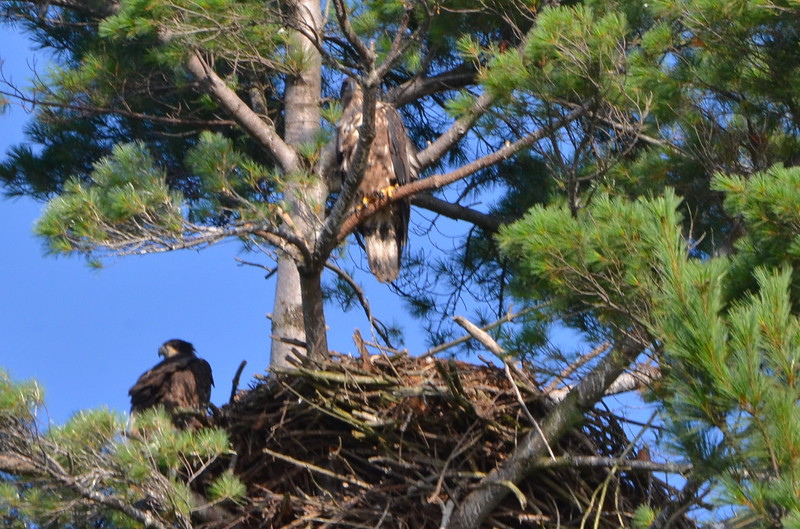 Two eagles near nest