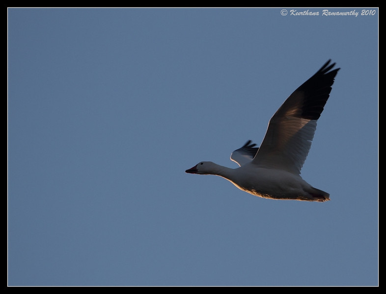Snow Goose at sunrise, Bosque Del Apache, Socorro, New Mexico, November 2010