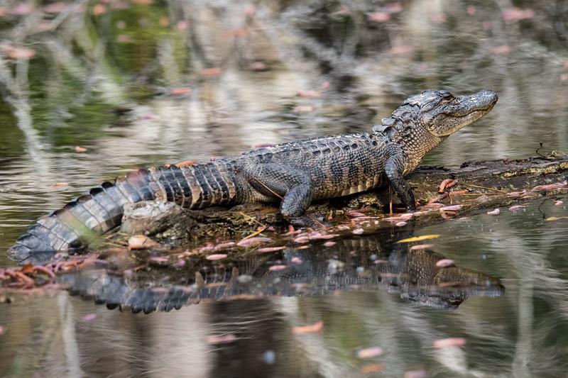 Gator Gulf Coast 2020-2.jpg