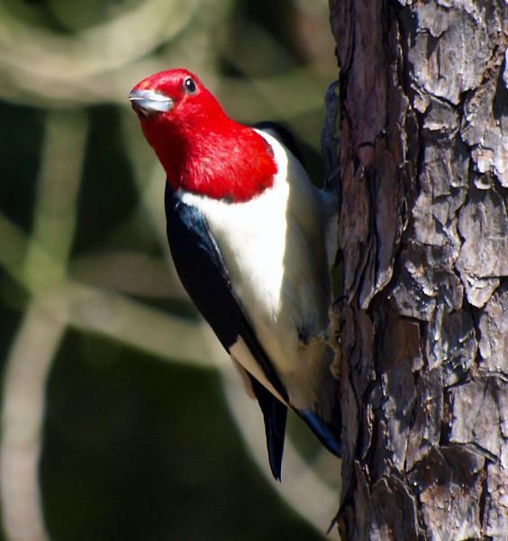 Red-headed woodpecker, Japanese Garden, Herman Park, Houston