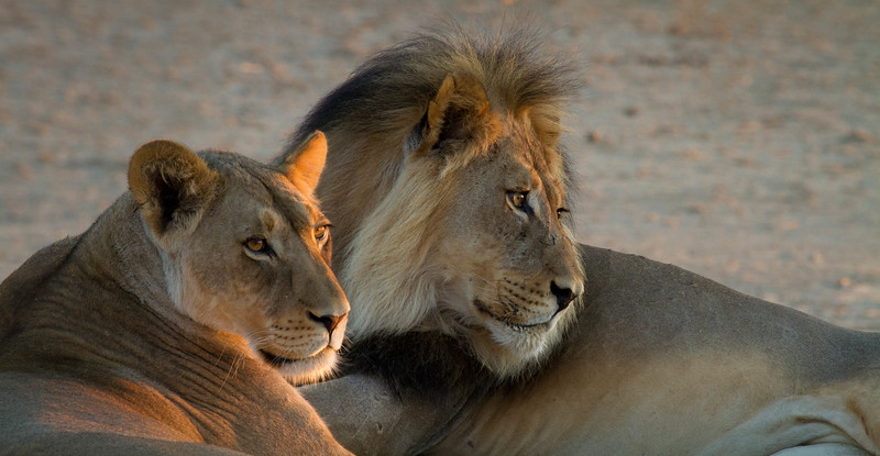 Lion pair at sunrise, Kalahari Desert