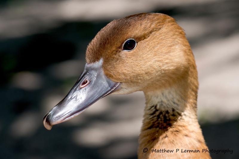 442 Duck Brown 1973.jpg