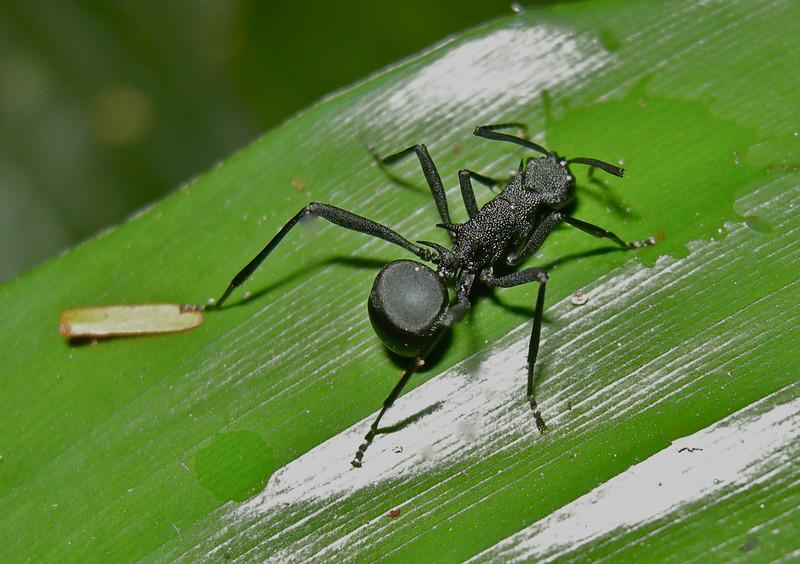 Black Ant Spider, mimic species.