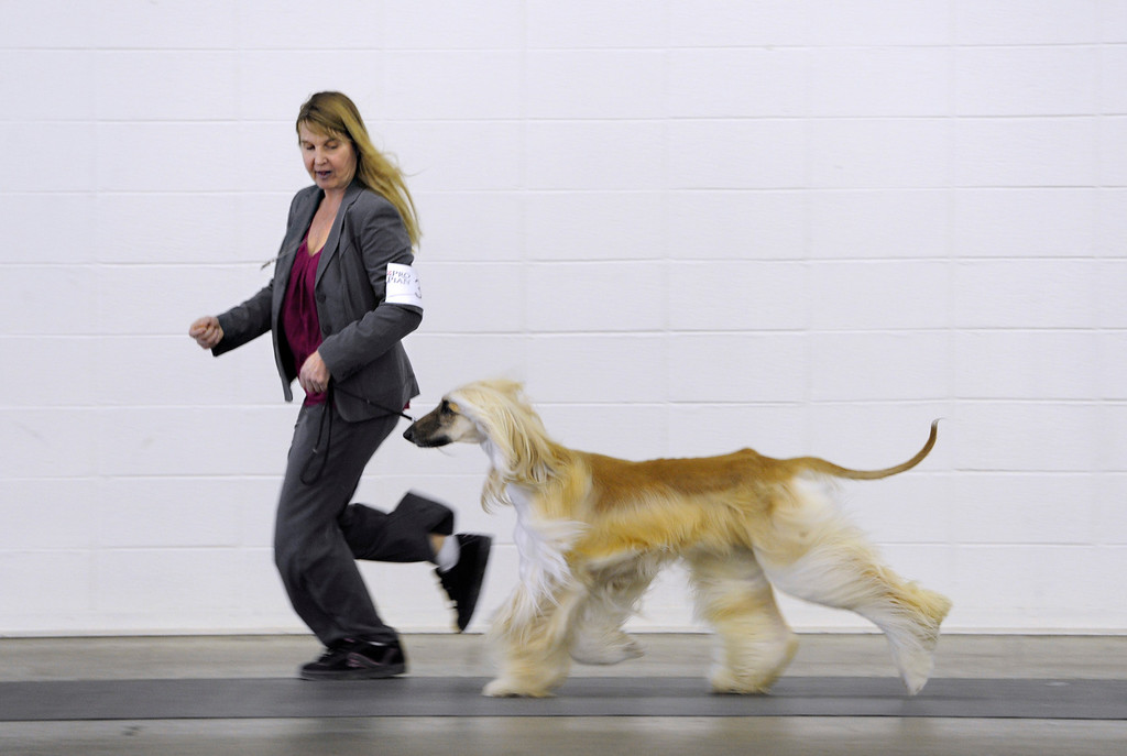 """. DENVER, CO. - FEBRUARY 15: Dallas Nunnery from Grand Junction, CO shows an afghan hound named \""""Peyton\"""". The 18th annual Rocky Mountain Cluster Dog Show begins at the National Western Complex with over 150 different breeds showing. The dogs can be seen in conformation, obedience, and agility competitions which has dogs running through tunnels, and leaping over jumps. The show runs through Feb. 18 and is open to the public. (Photo By Kathryn Scott Osler/The Denver Post)"""