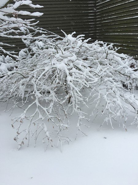 Another Japanese Maple