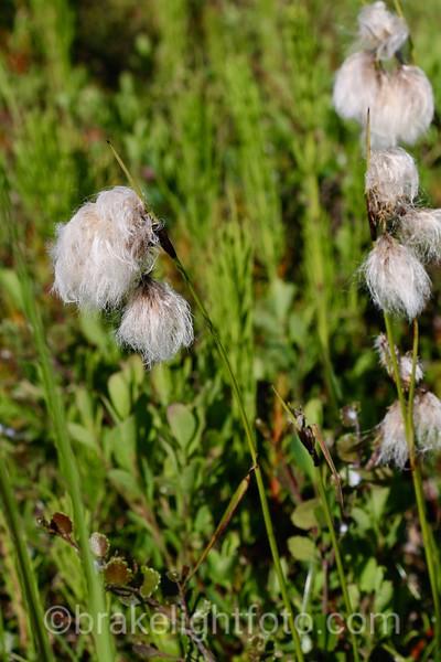 Artic Cotton