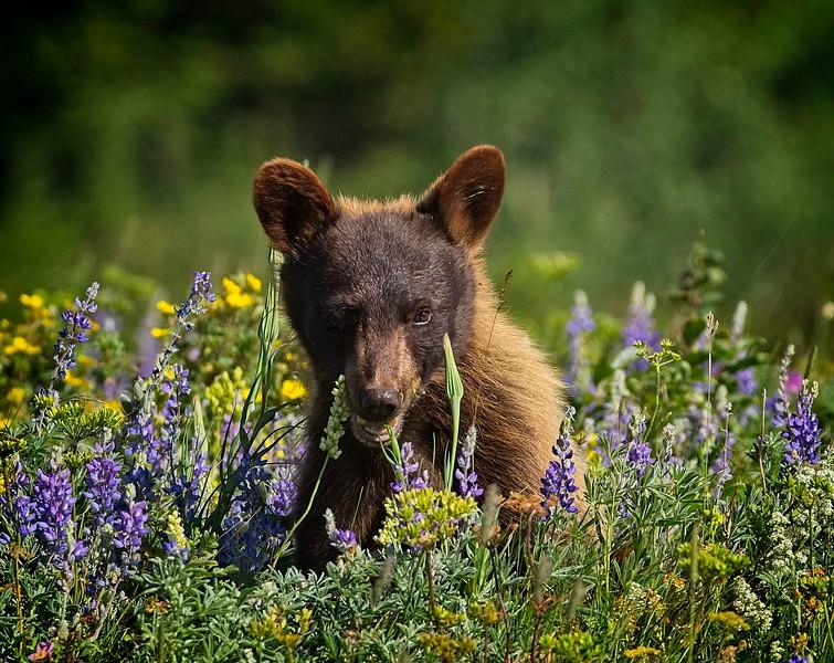 Bear Cub In Meadow Of  Wildflowers Series-  3 of 5